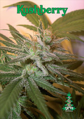 Kushberry DNA feminized single seeds