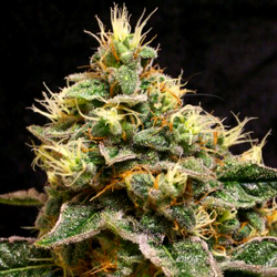 confidential Cheese marijuana seeds