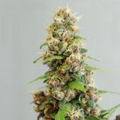 Le Fruit Defendu Feminized seeds