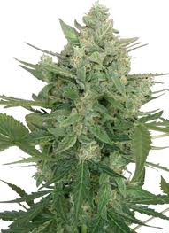 Seeds Low Dwarf Autoflowering Feminized