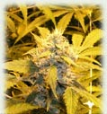 Medusa all female cannabis seeds