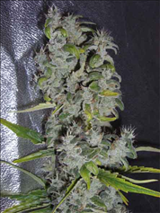 Nefertiti feminised seeds