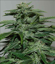 Northern light 15 feminised seeds