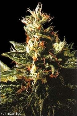Northern pride marijuana seeds