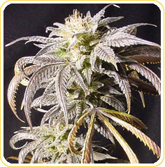 Oregon pinot Noir marijuana seeds