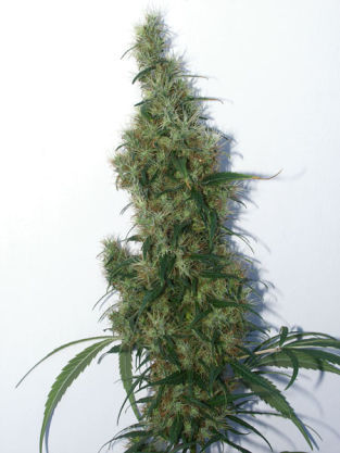 Orisha XL marijuana seeds