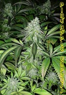 G-13 pineapple express seeds