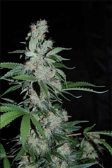 Pipi FEMINISED SEEDS