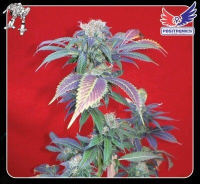 positronics purple haze cannabis seeds