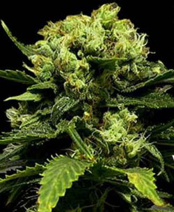 PURE Power feminised marijuana seeds