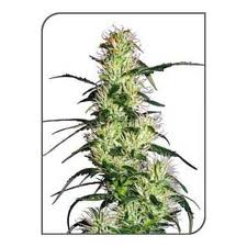 Purple haze marijuana seeds