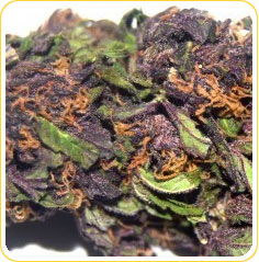 Purple rancher marijuana seeds