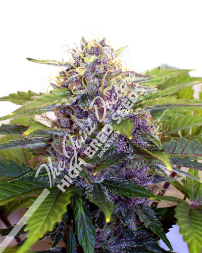Purple Jems marijuana seeds