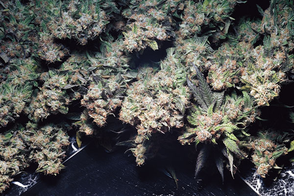 Las Vegas Purple Kush seeds