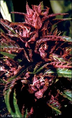 purple tops marijuana seeds