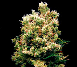 Royal Kush feminised seeds