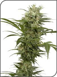 Sativa mix feminized