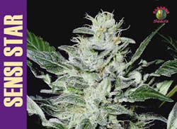 Sensi Star feminized - Click Image to Close