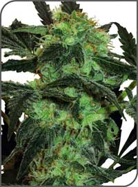 White Ice Feminized