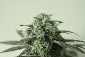 Sour Aliens seeds