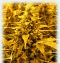 Super Girl all female seeds