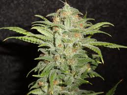 Sweetest Cindy99 cannabi seeds