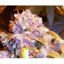 feminized seeds Teengenerate
