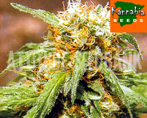 Thai Fantasy marijuana seeds