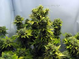Thumper marijuana seeds