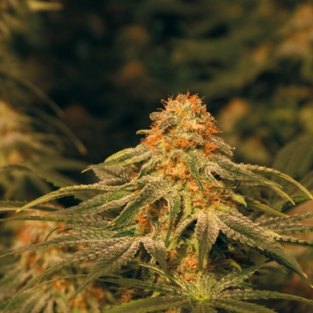 Vanilla kush marijuana seeds 15 seeds - Click Image to Close
