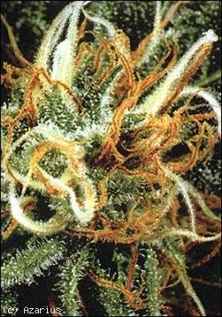 White pearl marijuana seeds